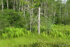 Photo of Virginia Chain Fern colony